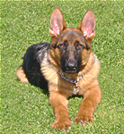 Germain Shepherd Dog Training