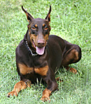 picture of  doberman pincer